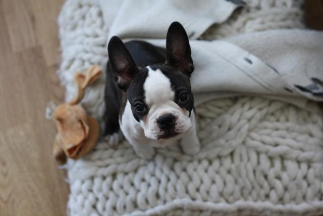 Bruno, Boston terrier